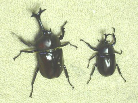 カブトムシの画像 p1_28